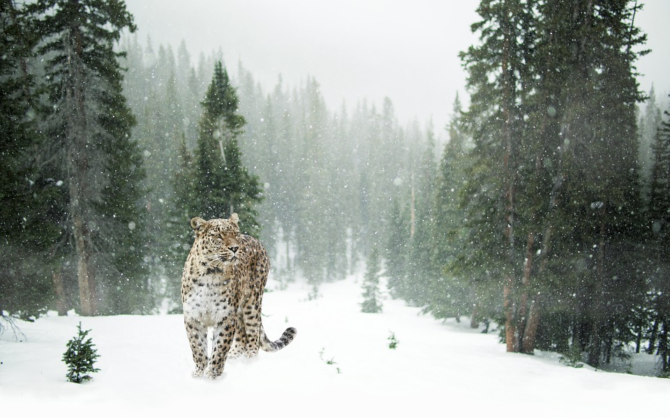 Rukeyser Quote, Persian leopard in the snow forest