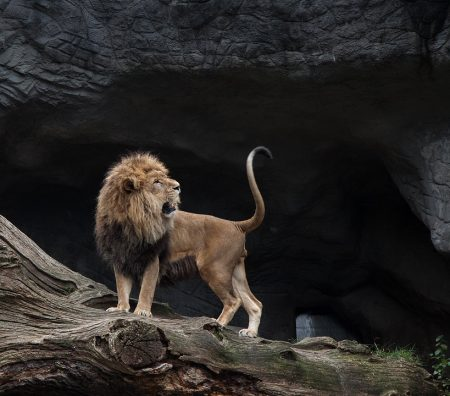 Eyring Quote, proudly standing lion in front of a cave