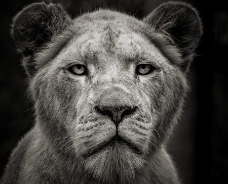 Buber Quote, beautiful strong lioness staring straight into camera